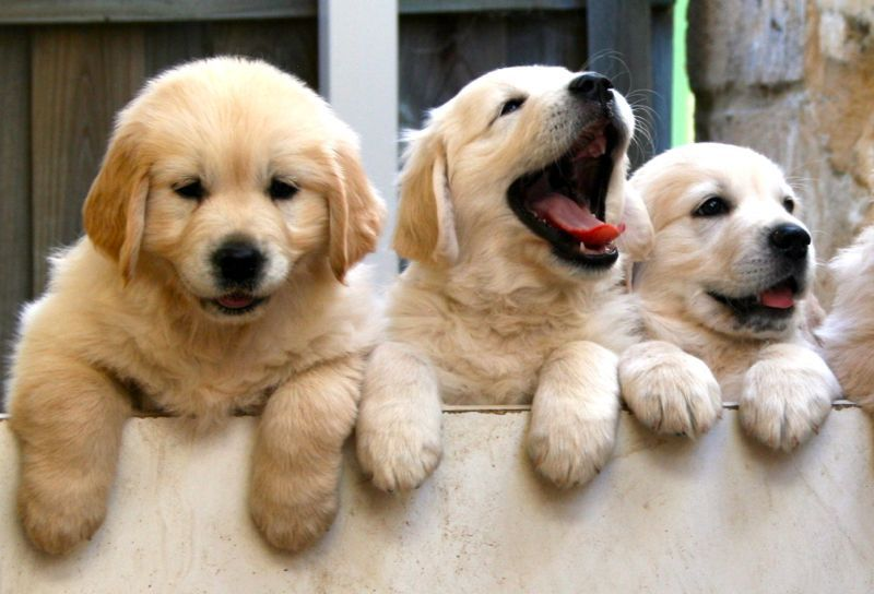 Golden Retriever puppies price range. How much does a Golden Retriever cost?