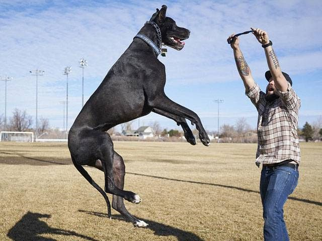 Great Dane puppies price range. How much does a Great Dane cost?