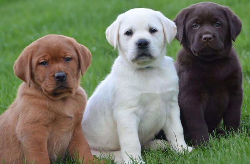 Labrador dog price range. Where to buy Labrador Retriever puppies?