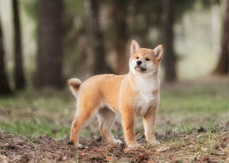 How Much Does A Shiba Inu Puppy Cost