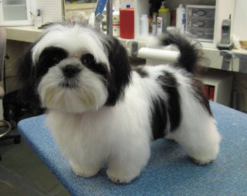 Shih Tzu puppies for sale price range. How much does a Shih Tzu cost?