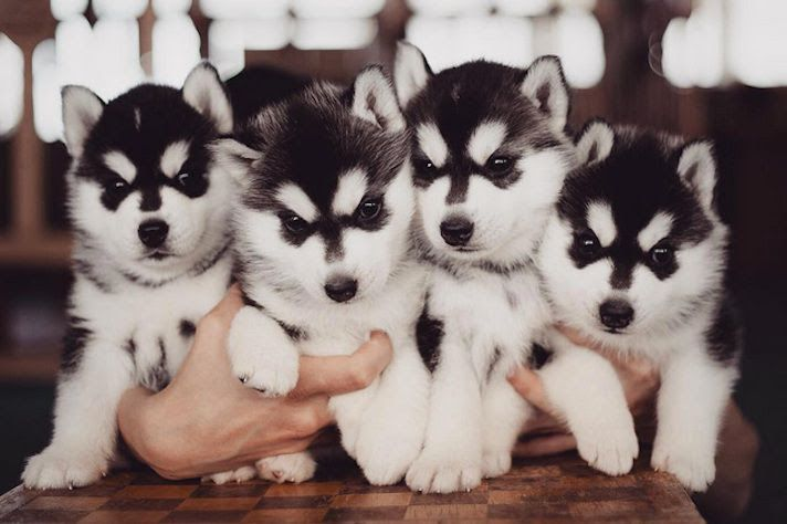 Siberian Husky price range. How much does a Husky puppy cost?