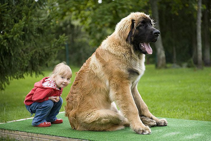 Leonberger price range. How much do Leonberger puppies for sale cost?