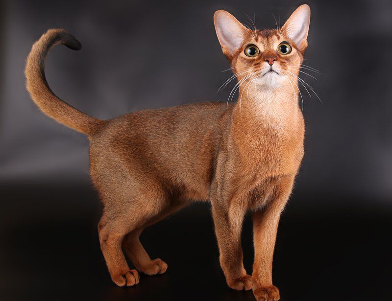 Abyssinian cat price & cost range. Where to buy Abyssinian kittens?