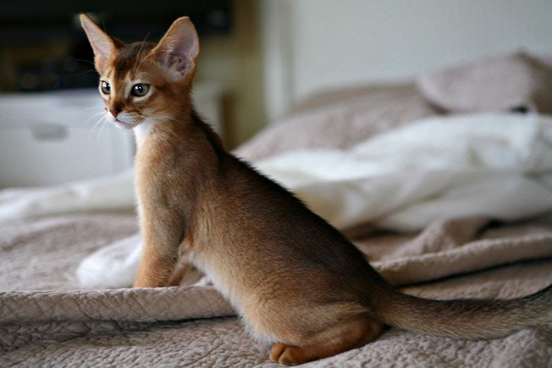 Abyssinian cat price & cost range. Abyssinian kittens for sale price