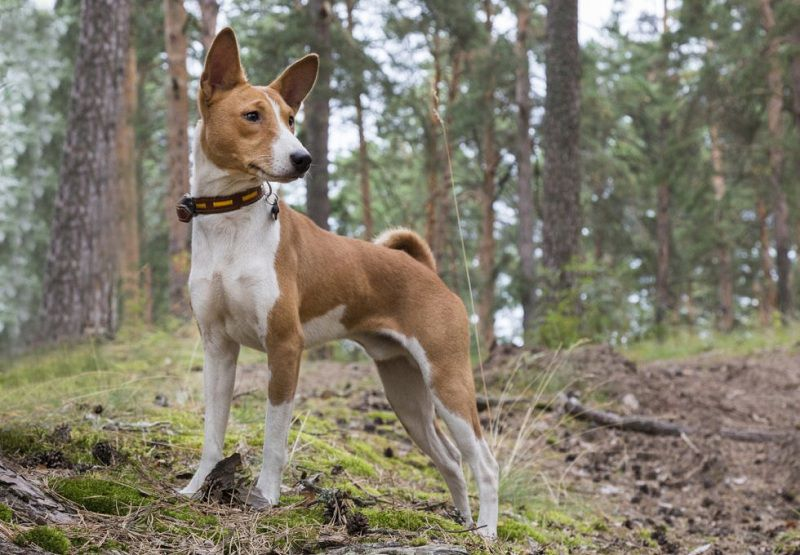 Basenji price range. Basenji puppies cost? Where to buy African Basenji puppies?