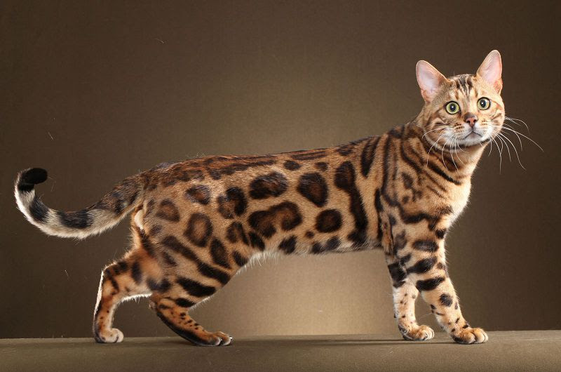 Bengal cat price range. Bengal cat cost. Where to buy Bengal Kittens?