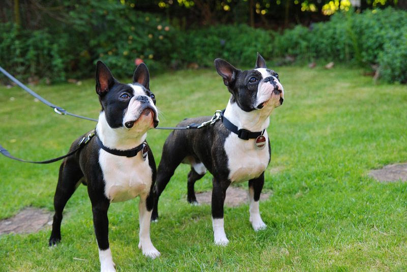 boston terrier cost boston terrier price range how much does a boston terrier 977