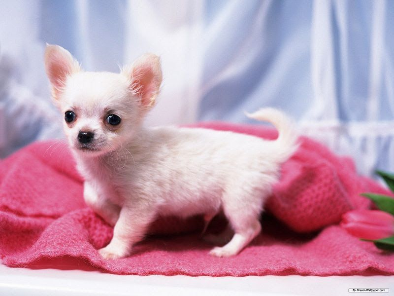 Chihuahua price & cost range. Chihuahua puppies for sale price?