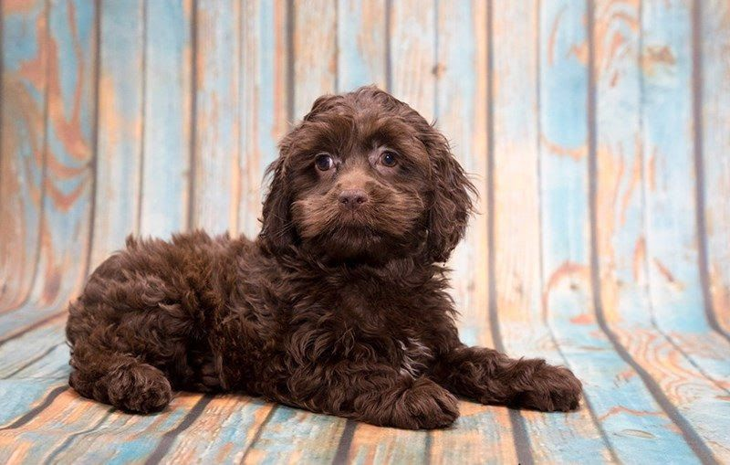 Cockapoo price range. How much does a Cockapoo puppy cost & where to buy?