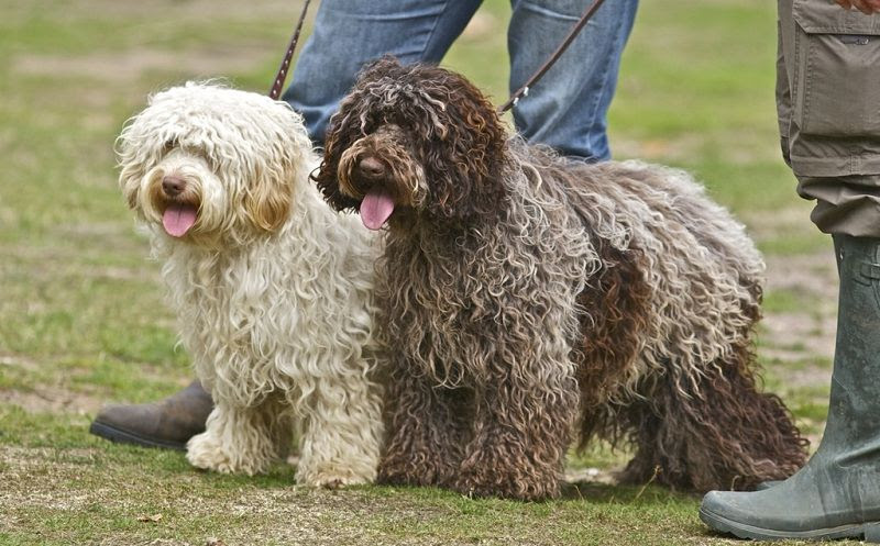 Cockapoo price range. How much does Cockapoo puppy cost & where to buy?