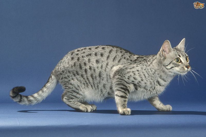 Egyptian Mau price & cost range. Where to buy Egyptian Mau kittens?