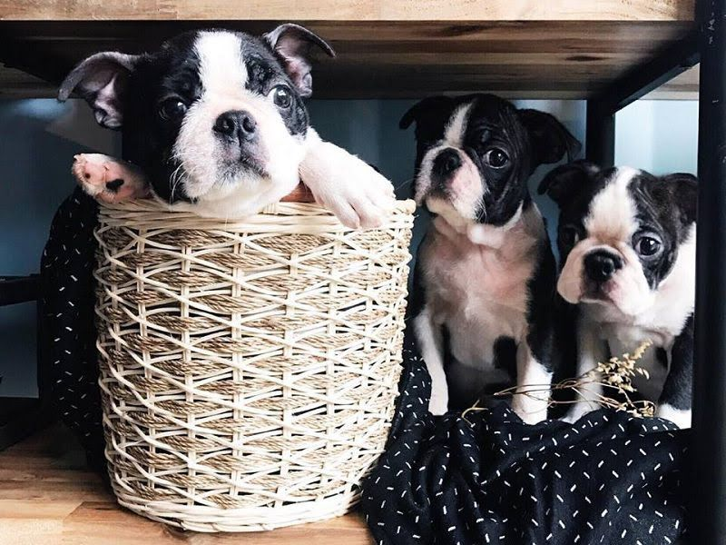 Boston Terrier price range. How much does a Boston Terrier cost?