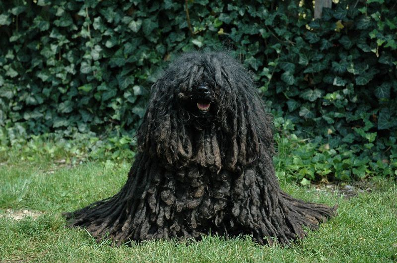 Hungarian Puli price range. Puli puppies cost? Where to find Puli puppies for sale?