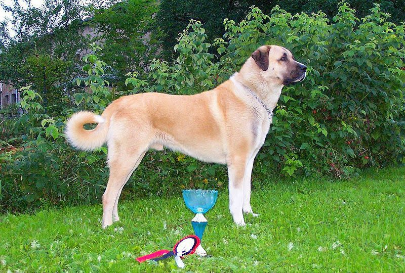 Kangal Dog (Anatoli Shepherd) price range. Kangal puppies for sale cost?