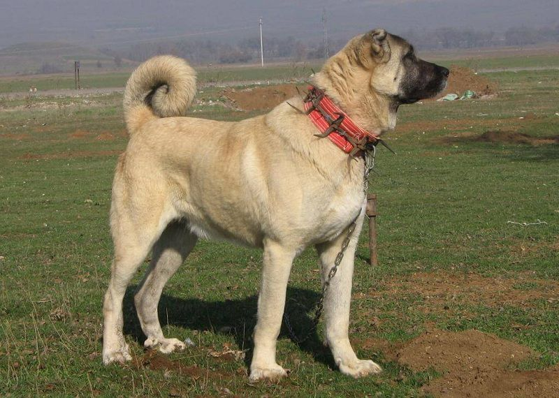 Kangal Dog (Anatoli Shepherd) price range  Kangal puppies