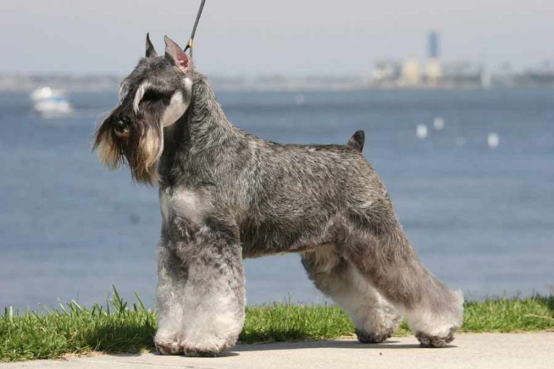 Miniature Schnauzer price & cost range. Where to buy Miniature Schnauzer puppies?