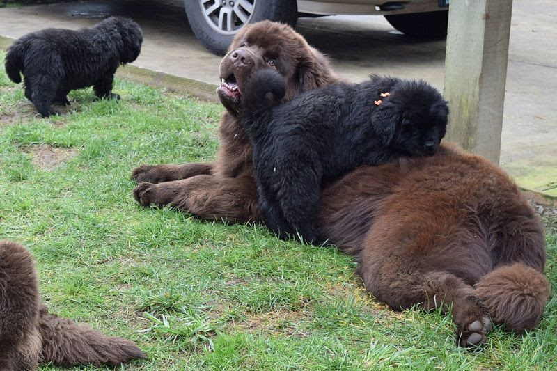 Newfoundland dog price & cost range. Where to buy Newfie puppies?