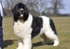 Newfoundland dog price & cost range. Where to buy Newfoundland puppies?