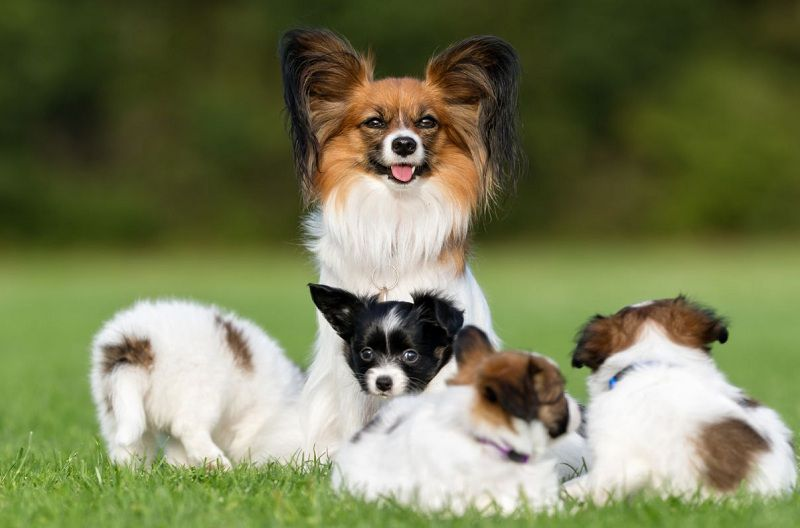 Papillon dog price range. Papillon cost. Where to buy Papillon puppies?