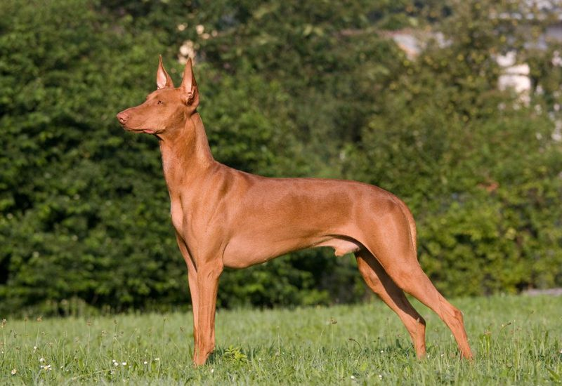 Pharaoh Hound price range. How much does a Pharaoh Hound puppy cost?