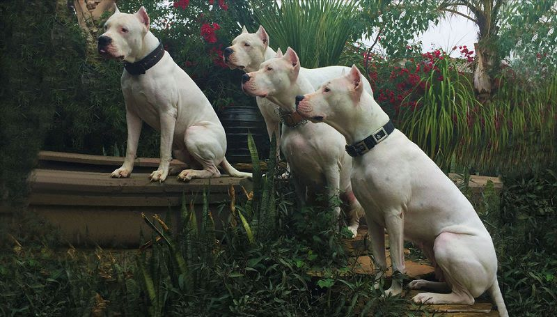 Dogo Argentino price & cost range. Dogo Argentino puppies for sale price
