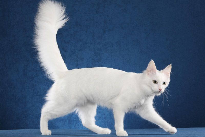 Turkish Angora price range. Angora kittens cost. Where to buy Angora Kittens?