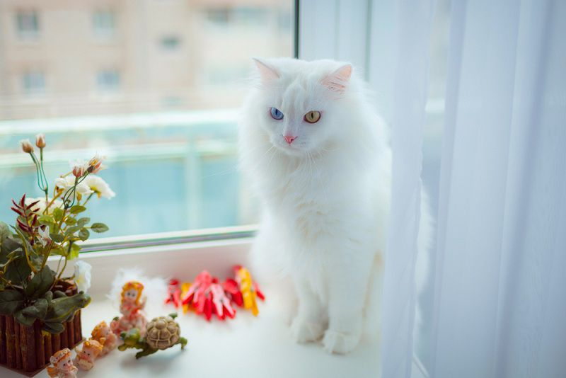Turkish Angora price & cost range. Where to buy Angora Kittens?