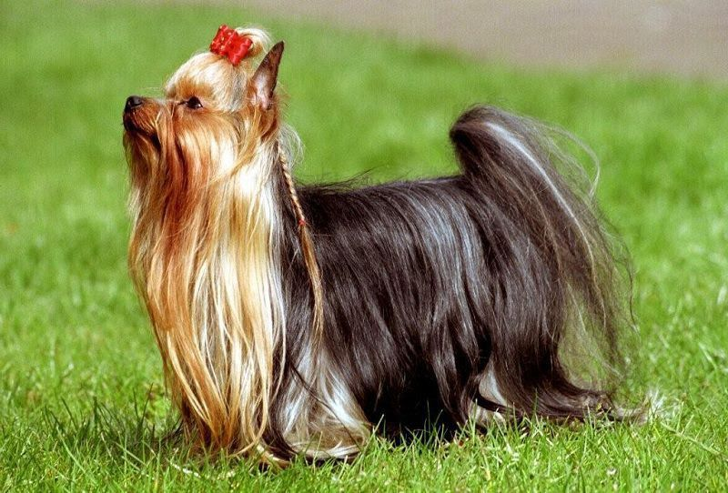Yorkshire Terrier price range. How much does a Yorkie puppy cost?