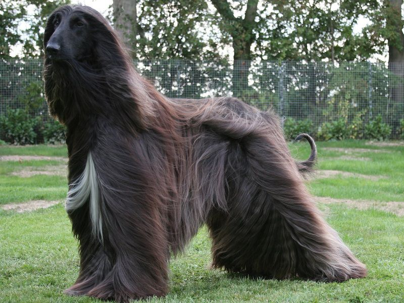 Afghan Hound price range. How much do Afghan Hound puppies for sale cost?