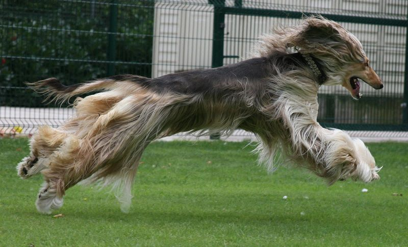 Afghan Hound price range. Afghan Hound puppies for sale cost