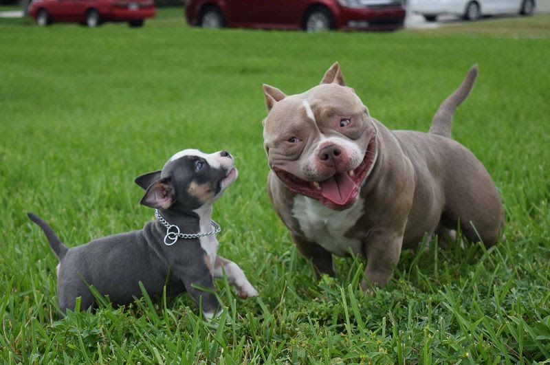 American Bully price range. Bully cost. Where to buy Bully puppies?