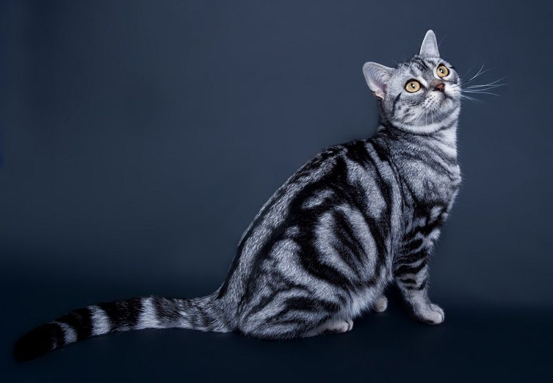 American Shorthair price range. American Shorthair kittens for sale cost?