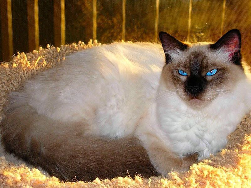Balinese cat price range. Balinese kittens for sale cost from breeders