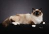 Birman cat price range. Birman kittens for sale cost. Best Birman breeders