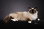 Birman cat price range. Birman kittens for sale cost. Where to find Birman for sale?