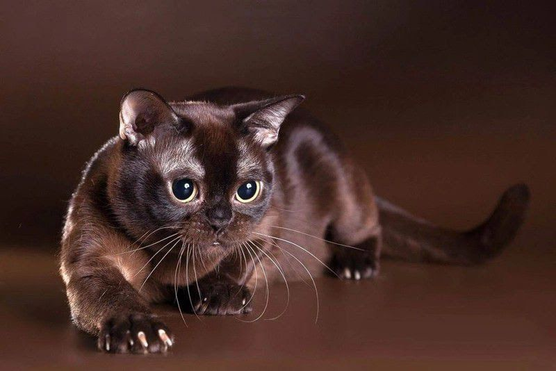 Burmese cat price & cost range. Burmese kittens for sale price list