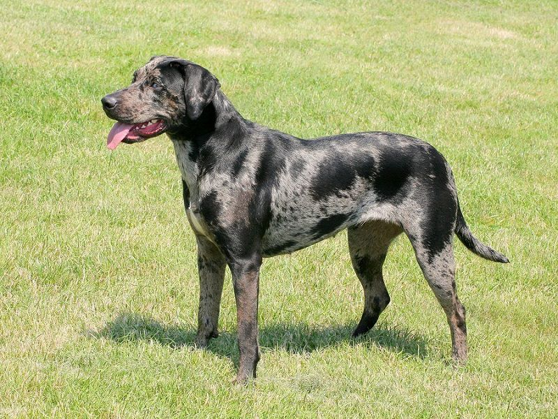 Catahoula Leopard price range. Catahoula Leopard puppies for sale cost