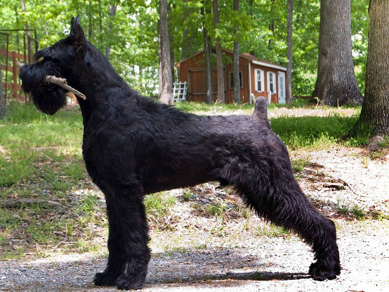 Giant Schnauzer for sale price. How much do Giant Schnauzer puppies cost?