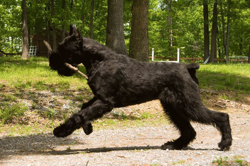 Giant Schnauzer for sale price. How much do Giant Schnauzer cost?