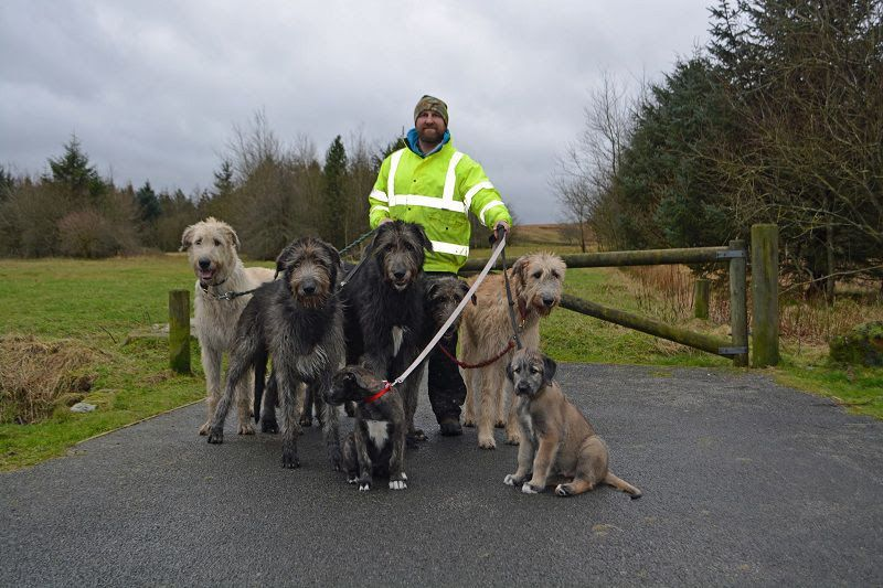 Irish Wolfhound for sale price range. How much do Irish Wolfhound cost?
