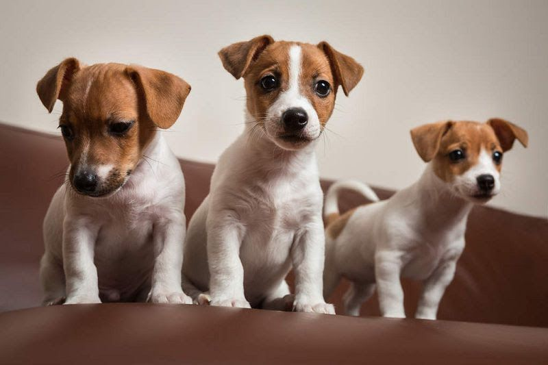 Jack Russell Terrier puppies for sale price range. Jack Russells cost?