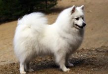 Japanese Spitz price range. Japanese Spitz puppies for sale cost