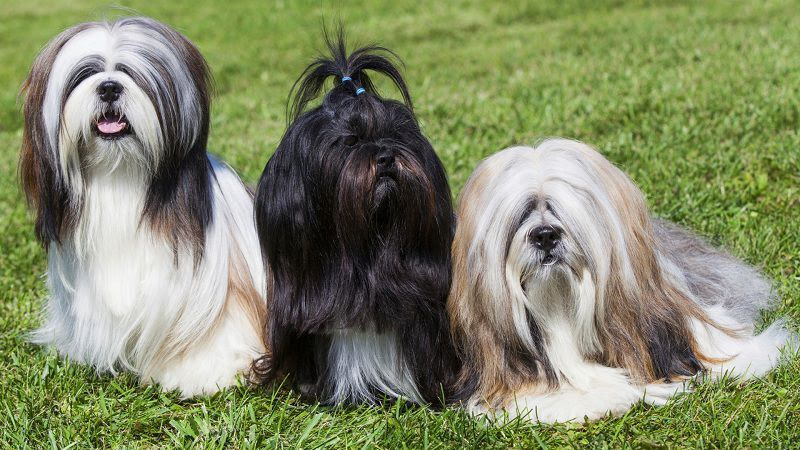 Lhasa Apso price range. Lhasa Apso puppies for sale cost from breeders