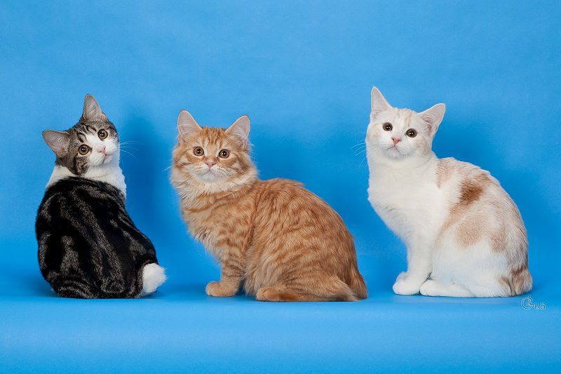 Manx cat price & cost range. Where to find Manx kittens for sale?