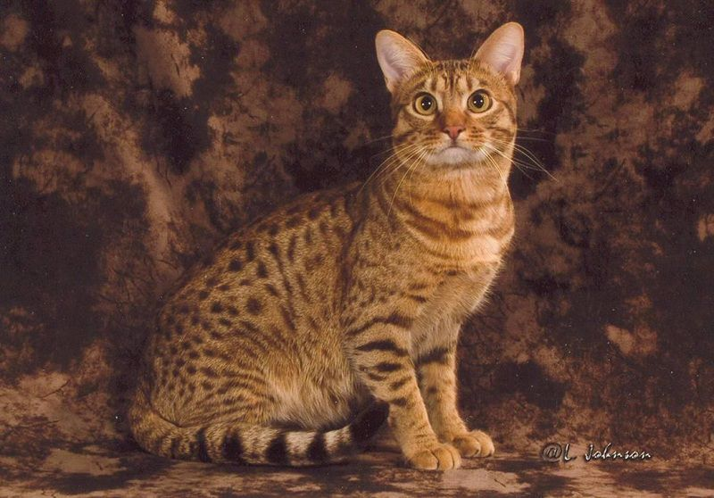 Ocicat price range. Ocicat kittens cost. Best Ocicat breeders & websites