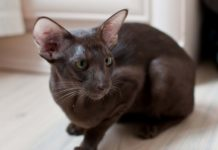 Oriental Shorthair price range. Oriental Shorthair kittens for sale cost