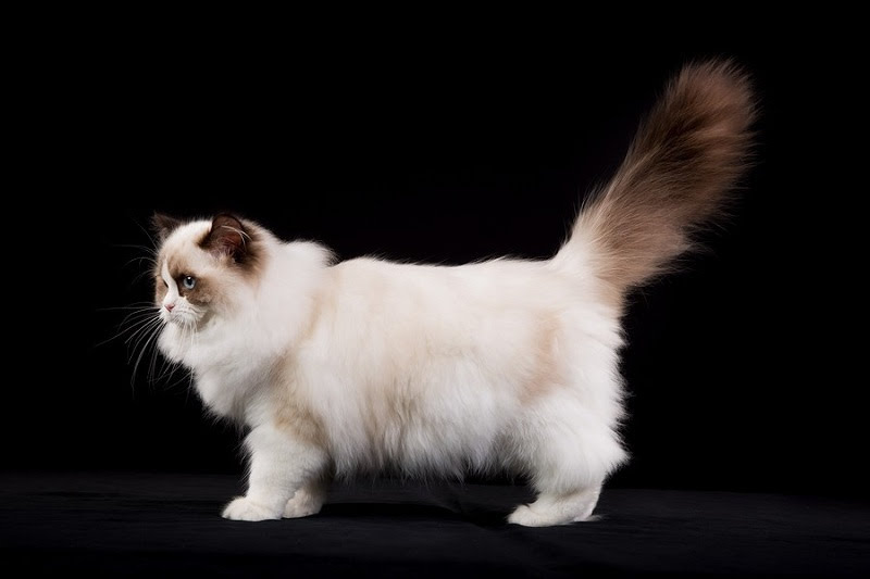 Ragdoll cat price range. Ragdoll Kittens for Sale cost. Ragdoll breeders