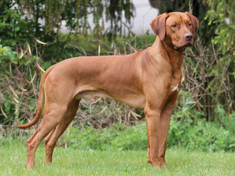 Rhodesian Ridgeback price range. How much do Rhodesian puppies for sale cost?