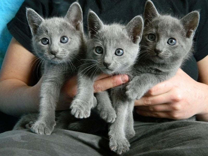 Russian Blue Cat Price Range Russian Blue Kittens For Sale Cost